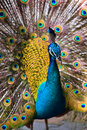 Indian peacock bird proudly showing his feathers Stock Photos