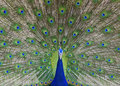 Indian Peacock dancing Stock Photography
