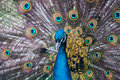 Indian Peacock with Feathers Royalty Free Stock Photo