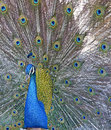 Indian peacock image of an as it fans its feathers Royalty Free Stock Images