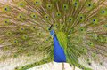 Indian peacock a profile view of a male displaying male peafowls are distinct for their bright metalic blue crown the fan shaped Royalty Free Stock Photo