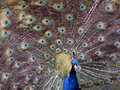 Indian Peafowl Stock Image