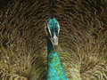 Indian peafowl or Blue peafowl (Pavo cristatus) Stock Photography