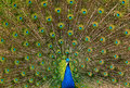 Indian peafowl with his tails fully spread doing mating dance Royalty Free Stock Photos