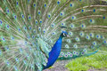 Indian peafowl an male displaying it s feathers Royalty Free Stock Images