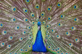 Indian peafowl an male displaying it s feathers Stock Photos