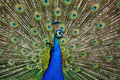 Indian Peafowl (Pavo cristatus) Stock Photo