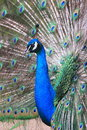 Indian peafowl pavo cristatus displaying its feathers Stock Photography