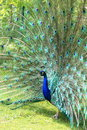 Indian peafowl pavo cristatus displaying its feathers Royalty Free Stock Image