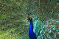 Indian peafowl pavo cristatus displaying its feathers Royalty Free Stock Photos