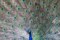 Indian peafowl pavo cristatus displaying its feathers Royalty Free Stock Images