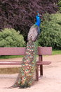 Indian peafowl pavo cristatus staying on bench Stock Image