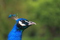 Indian peafowl s pavo cristatus head Royalty Free Stock Images