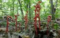 Indian Pipe plants Royalty Free Stock Photography