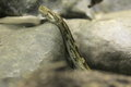 Indian python Royalty Free Stock Photo