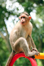 Indian rhesus macaque monkey macaca mulatta with funny face making in a park Stock Images