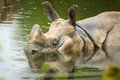 Indian rhino swimming close up of an taking a bath on a rainy day Stock Image
