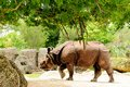 Indian rhino walking in a south florida zoo indian rhinos are one of the largest living land mammals in the world Stock Photos