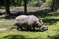 Indian rhinoceros the is classified as endangered its total population is estimated at a mere individuals Royalty Free Stock Image