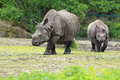 Indian rhinoceros the couple of strolling Stock Photo