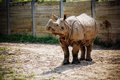 Indian rhinoceros an on exhibit at the buffalo zoo Royalty Free Stock Photo