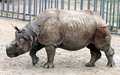 Indian rhinoceros or greater one-horned rhinoceros