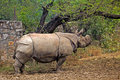 Indian rhinoceros greater rhynoceros unicornis in new delhi zoo Royalty Free Stock Images