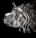 Indian rhinoceros portrait the unicornis also called the greater one horned and one horned belongs Royalty Free Stock Image