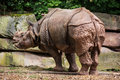 Indian rhinoceros rhinoceros unicornis in the paddock Royalty Free Stock Photos