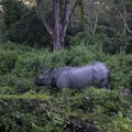 Indian rhinoceros side view of in jaldapara wildpark west bengal india Royalty Free Stock Photo