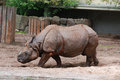 The indian rhinoceros unicornis is also called greater one horned and asian one horned and Stock Photography