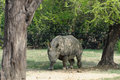 Indian rhinoceros the unicornis also called the greater one horned and one horned belongs Royalty Free Stock Photo