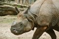 The indian rhinoceros unicornis also called greater one horned and one horned belongs Royalty Free Stock Photography