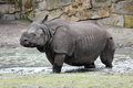 Indian rhinoceros unicornis walking in the swamp Stock Images