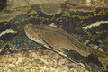 Indian Rock Python  (Python molurus bivittatus) Royalty Free Stock Photo