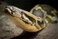 Indian rock python (Python molurus) Royalty Free Stock Photo