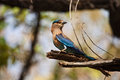 Indian Roller bird Stock Photo