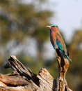 Indian roller bird perching on a dead tree trunk very colorful Stock Photo