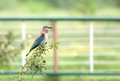 Indian roller perched on a bush the rollers are member of the family of birds Stock Photo