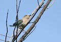 Indian roller the rollers are a member of the family of birds Stock Image
