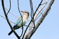 Indian roller staring at camera the rollers are a member of the family of birds Royalty Free Stock Photo