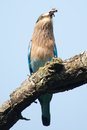 Indian roller swallowing grub a or insect Stock Photo