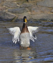 Indian Runner Duck Stock Photography