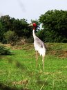 Indian sarus crane bird Royalty Free Stock Photo