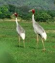 Indian sarus crane birds Royalty Free Stock Photo
