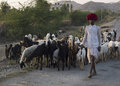 Indian shepherd ghanerao india march a wearing a red turban is leading his animals along the road during the summer transhumance Stock Images
