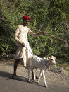 Indian shepherd leading a calf ghanerao india march wearing red turban is along the road during the summer transhumance on march Stock Photos