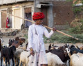 Indian shepherd in a village ghanerao india march wearing red headdress is walking beside his goats during the summer transhumance Stock Photo