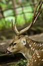 Indian spotted deer a photo of wild in the zoo Stock Photo