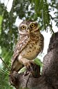Indian Spotted Owl
